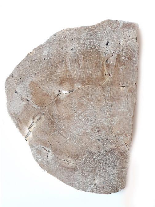 Tranche : Bois fossilisé